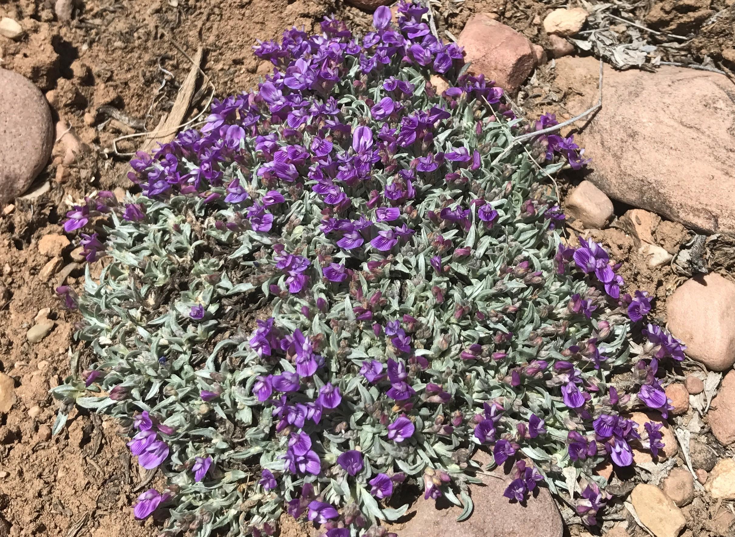 Home of Astragalus drabelliformis